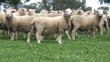 Coopworth Sheep Attributes